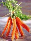 Vegyes zöldség csomagban, bio (HU) (új sárgarépa + új fehérrépa)