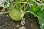 Karalábé, bio (HU) (3-400g/db) - Popovics Biokertészet