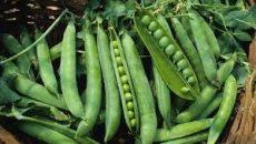 Friss zöldborsó, zsenge, új termés, bio (HU)