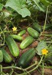 Uborka, kovászolni való, új termés, bio (HU)