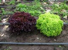 Tölgylevelű saláta, zöld, bio (HU)
