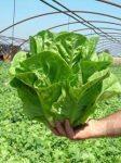 Római saláta, bio (DE)