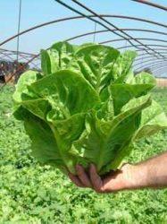Római saláta, bio (ES) (2 db / cs)