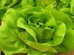 Fejes saláta, bio (HU) (kisebb fej)