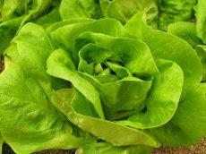 Fejes saláta, bio (HU) - Molnár Biokert