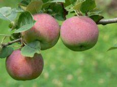 Nyári alma, piros, savanykás, bio (HU)