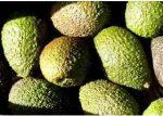 Avocado, Haas, bio (ES)