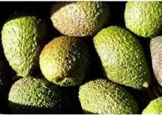 Avocado, Haas, bio (PE) - Lot: 2666